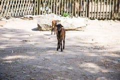 2 козы Брайна Стоковые Изображения