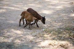 2 козы Брайна Стоковые Фото