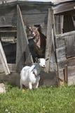 2 козы бура Стоковое фото RF