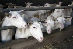 4 козы вставляют их головы через бары конюшни Стоковое Изображение RF
