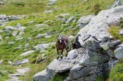 Козы в Альпах стоковое изображение
