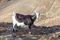 Козы в горах от Лансароте Стоковое фото RF