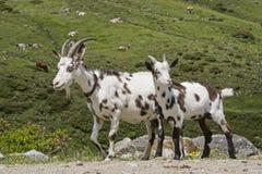 Козы в горах Тироля Стоковая Фотография