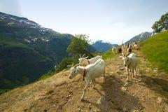 Козы в горах Стоковое фото RF