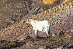 Козы в горах Стоковые Изображения RF