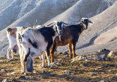 Козы в горах Стоковое Фото