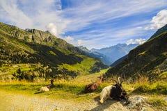 Козы в горах Стоковая Фотография RF