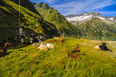 Козы в горах Стоковое Изображение