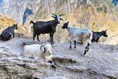 Козы в горах Стоковые Фото