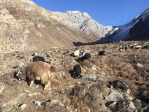 Козы в долине Muktinath в районе мустанга, Непале в зиме Стоковые Изображения RF