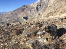 Козы в долине Muktinath в районе мустанга, Непале в зиме Стоковые Фото