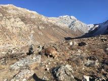 Козы в долине Muktinath в районе мустанга, Непале в зиме Стоковая Фотография RF
