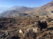 Козы в долине Muktinath в районе мустанга, Непале в зиме Стоковое фото RF