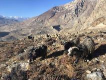 Козы в долине Muktinath в районе мустанга, Непале в зиме Стоковая Фотография
