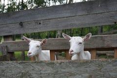 Козы в деревянном скотном дворе Стоковое Изображение