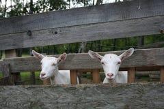 Козы в деревянном скотном дворе Стоковая Фотография RF