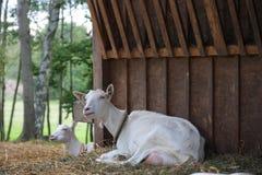 Козы в деревянном скотном дворе Стоковое Фото