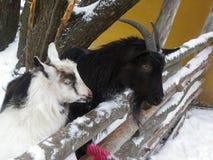 2 козы в зиме Стоковое Изображение RF