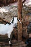 Козы в зоопарке в Таиланде Коза, корова с маркировками подобными Стоковое Фото