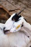 Козы в зоопарке в Таиланде Коза, корова с маркировками подобными Стоковые Фотографии RF