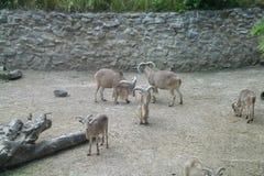 Козы в зоопарке Стоковое Изображение RF