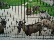 Козы в зоопарке Стоковые Фото