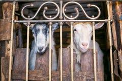 2 козы в коровнике Стоковая Фотография