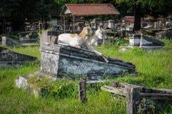 2 козы в кладбище Стоковая Фотография RF