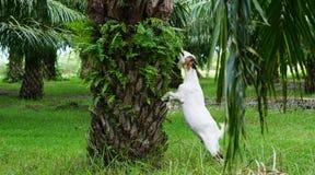 Козы в плантациях масличной пальмы стоковое фото rf