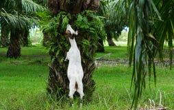 Козы в плантациях масличной пальмы стоковые изображения
