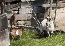 Козы в траве Стоковая Фотография RF
