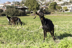 Козы в луге Стоковая Фотография