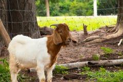 Козы в ферме в Таиланде Стоковые Изображения