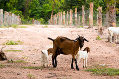 Козы в ферме в Таиланде Стоковое Фото