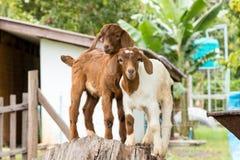Козы в ферме в Таиланде Стоковая Фотография RF
