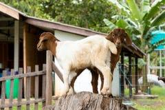 Козы в ферме в Таиланде Стоковое фото RF