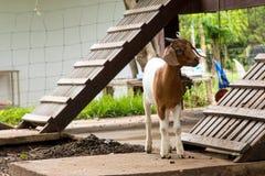 Козы в ферме в Таиланде Стоковые Фотографии RF