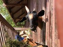 Козы в ферме Стоковое Изображение
