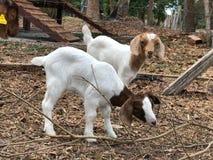 Козы в ферме Стоковая Фотография