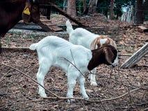 Козы в ферме Стоковое Фото