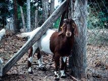 Козы в ферме Стоковое фото RF