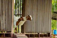 Козы в ферме Стоковые Изображения