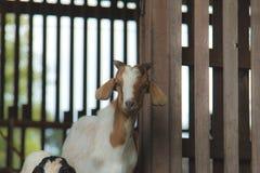 Козы в ферме Стоковые Изображения RF