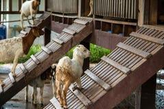Козы в ферме Стоковая Фотография RF