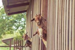Козы в ферме Стоковое Изображение RF