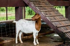 Козы в ферме Стоковые Фотографии RF