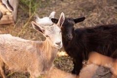 Козы в farmyard Стоковая Фотография