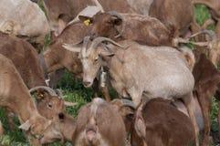 Козы в grassfield Стоковые Фото