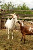 Козы в sheepfold Стоковое Фото