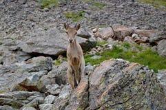 Козы горы, высокие Стоковые Изображения RF